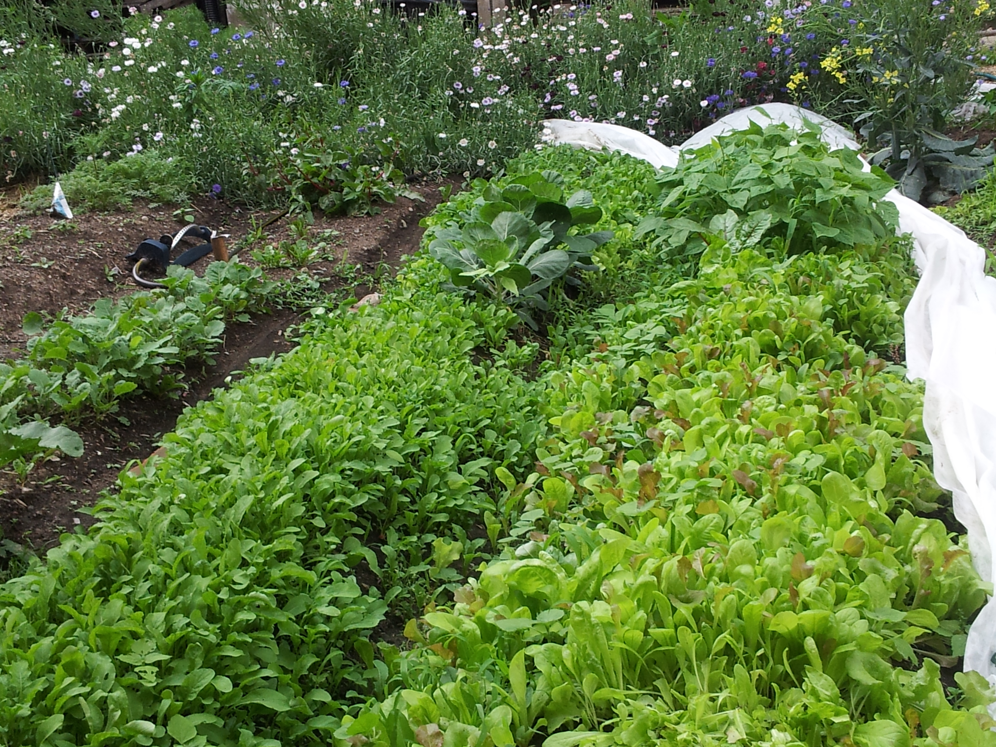 Harvesting Lettuce Beds After Scatter Planting