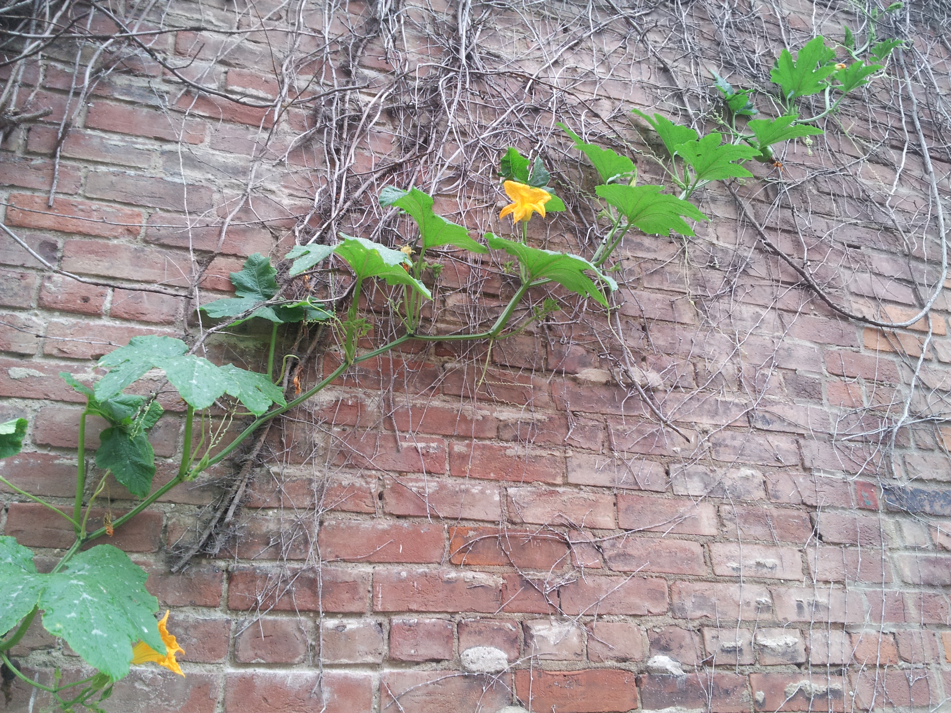 Pumpkins growing up vertically