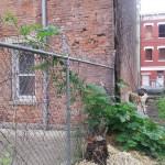 pumpkin-climbing-fence-
