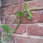 pumpkin-climbing-fence-brick