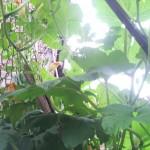 pumpkin-climbing-fence-inside