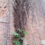 pumpkin-climbing-fence15