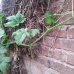 pumpkin-climbing-fence4