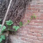 pumpkin-climbing-fence5