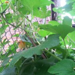 pumpkin-climbing-fence8