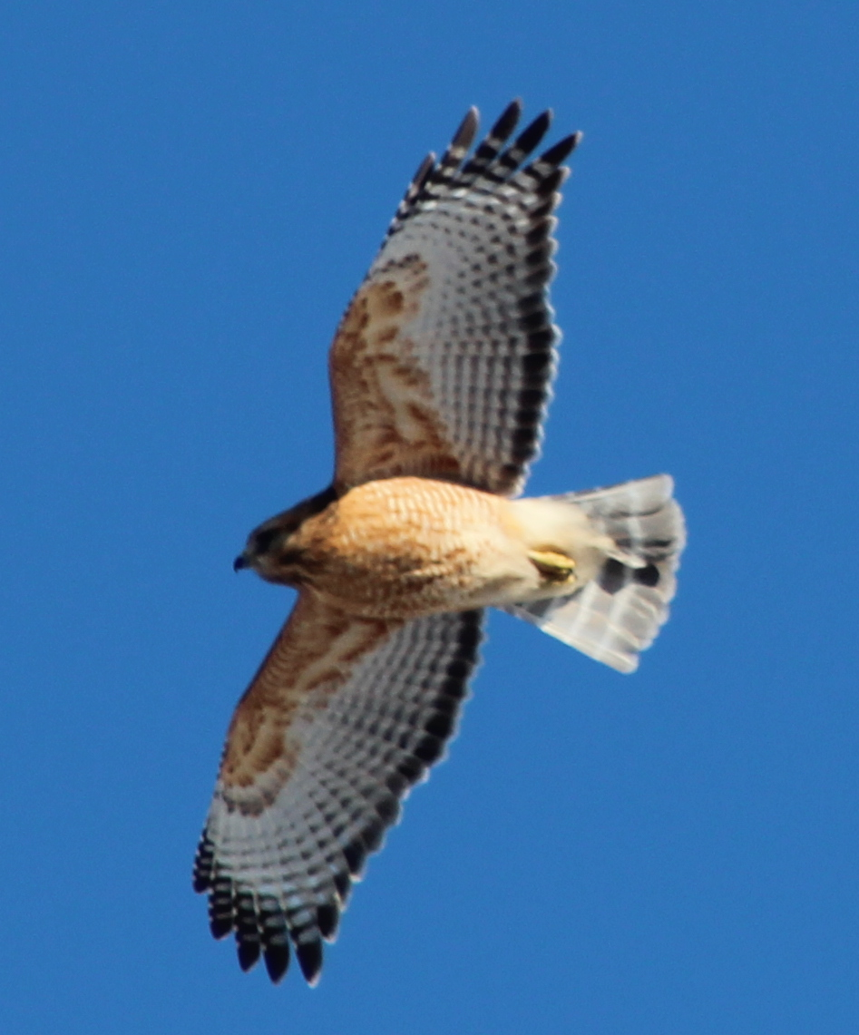 Red-Tail Hawks in Cincinnati