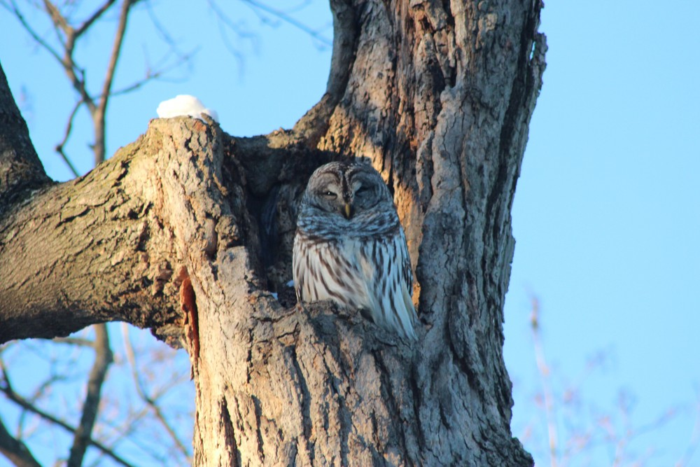 Barred Owls Singing Sexy near Owl's Nest Park